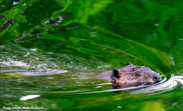 beavers and water management in California